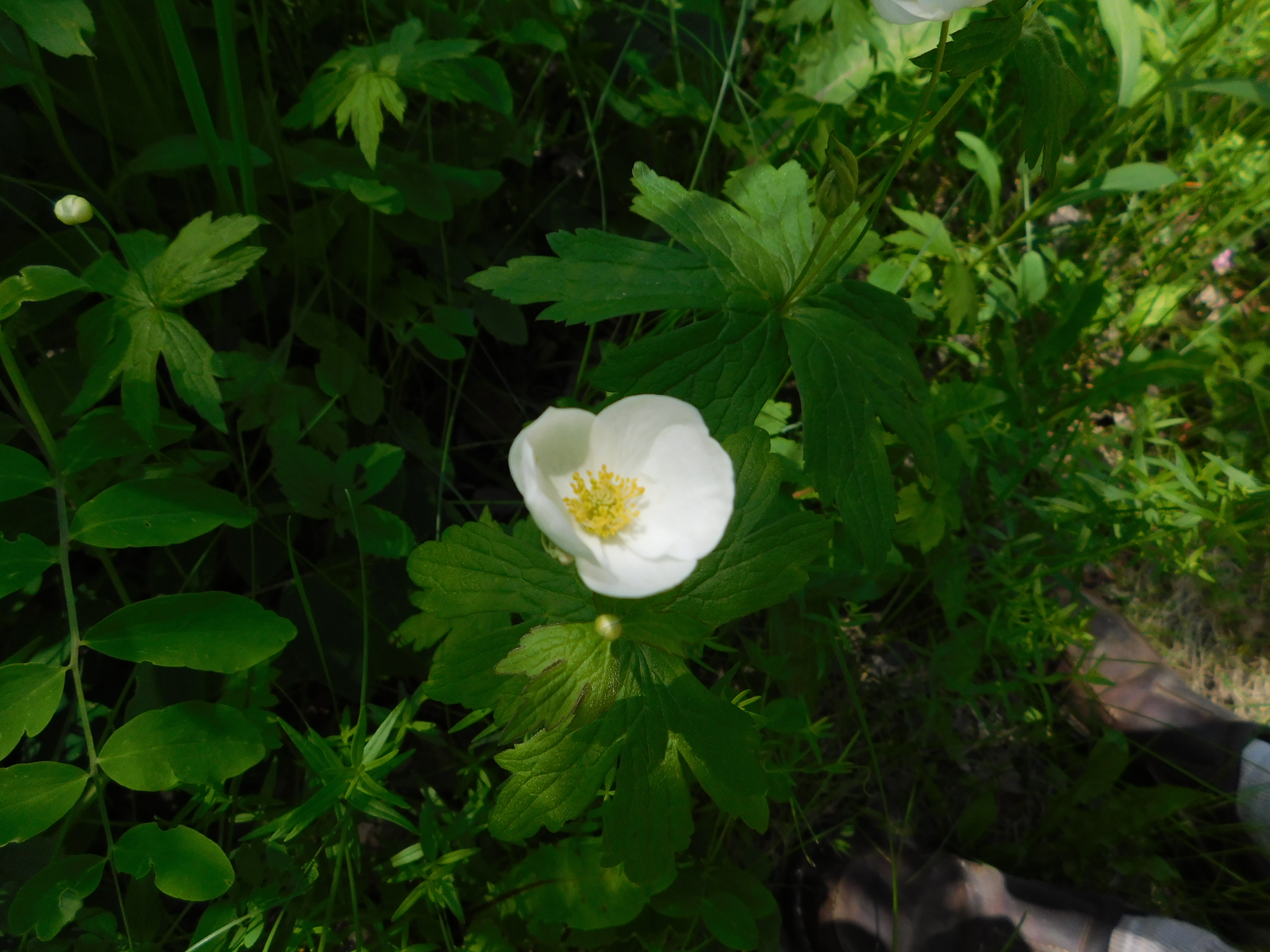 queen's butter cup found in Riding Mountain National Park